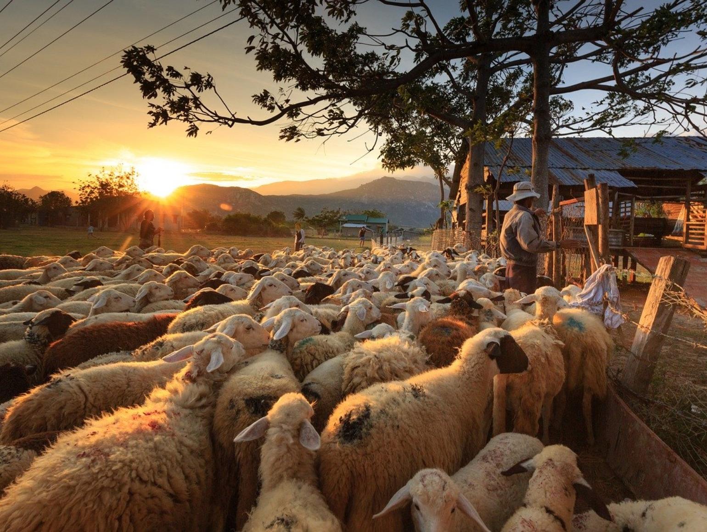 carte postale de moutons